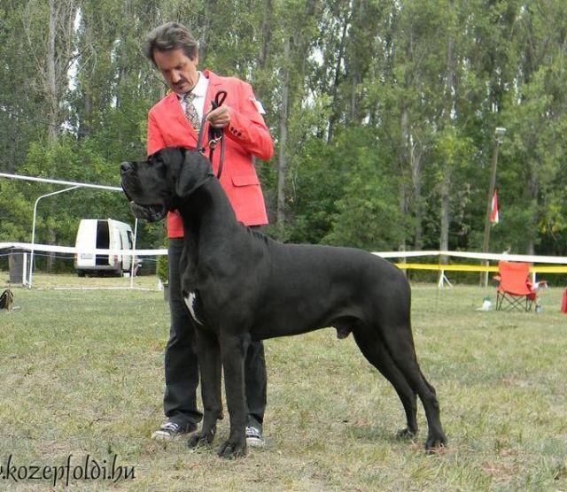 L Amour Noir Of Austria Great Stars Greatdanes Dog